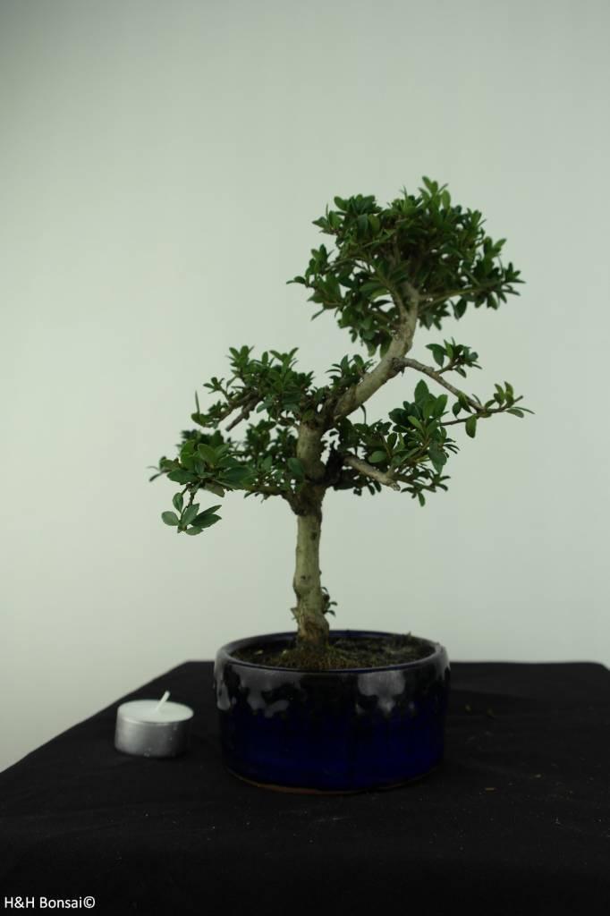 Bonsai Japanische Stechpalme, Ilexcrenata, nr. 6888