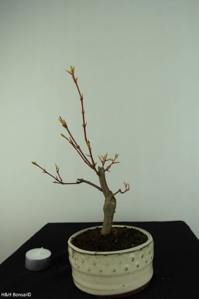 Bonsai Jap. Fächerahorn, Acer palmatum, nr. 6894