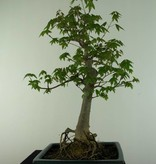 Bonsai Dreispitzahorn, Acer buergerianum, nr. 6909
