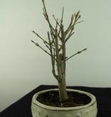 Bonsai Granatapfel, Punica granatum, nr. 6930