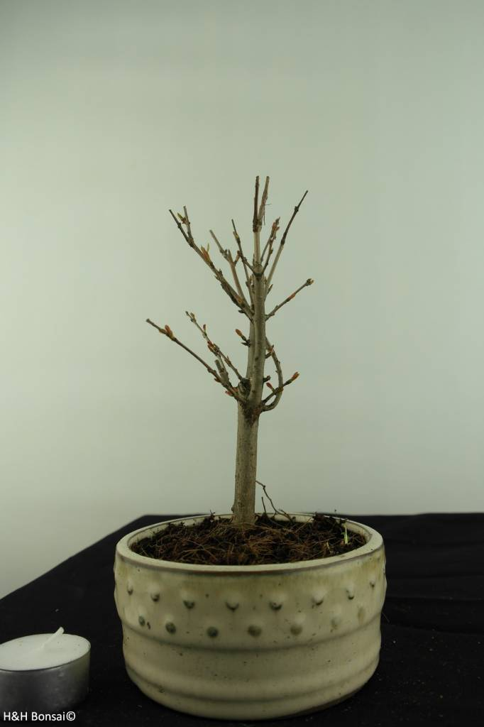 Bonsai Granatapfel, Punica granatum, nr. 6931