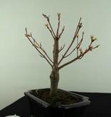 Bonsai Jap. Fächerahorn, Acer palmatum, nr. 6937