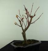Bonsai Japanese maple, Acer Palmatum, no. 6937