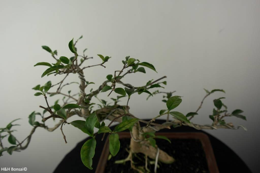 Bonsai Wrightia sp., nr. 6965