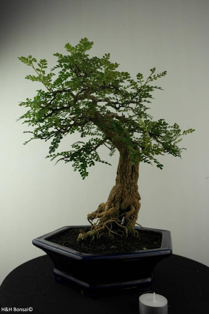 Bonsai Pfefferbaum, Zanthoxylum piperitum, nr. 6966