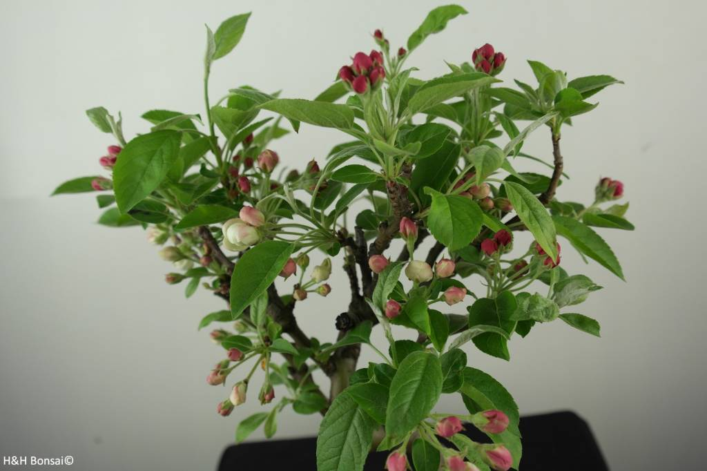 Bonsai Apfel, Malus halliana, nr. 6612