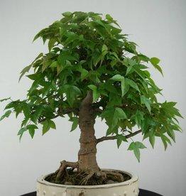 Bonsai Trident maple, Acer buergerianum, no. 6788