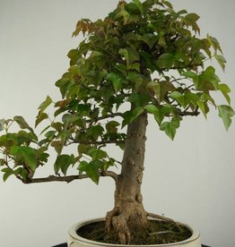 Bonsai Trident maple, Acer buergerianum, no. 6810