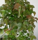 Bonsai Dreispitzahorn, Acer buergerianum, nr. 6810