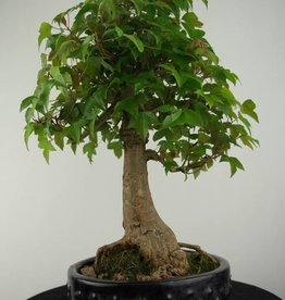 Bonsai Trident maple, Acer buergerianum, no. 6811