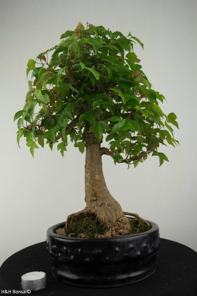 Bonsai Dreispitzahorn, Acer buergerianum, nr. 6811