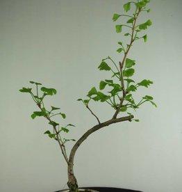 Bonsai Fächerblattbaum, Ginkgo biloba, nr. 6308