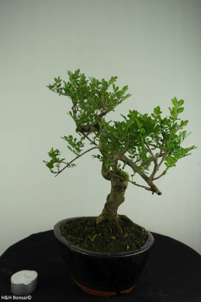 Bonsai Ash tree, Fraxinus sp., no. 6701