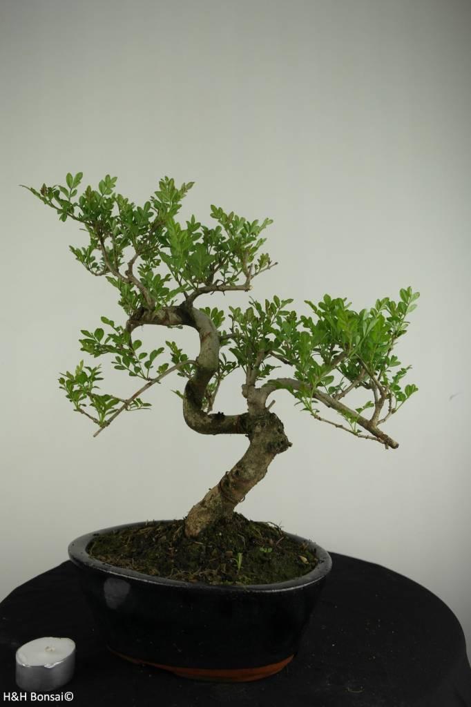 Bonsai Esche, Fraxinus sp., nr. 6701