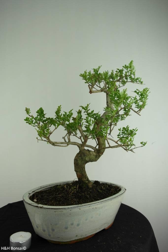 Bonsai Ash tree, Fraxinus sp., no. 6729