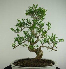 Bonsai Esche, Fraxinus sp., nr. 6730