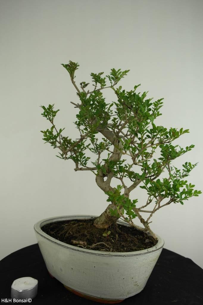 Bonsai Esche, Fraxinus sp., nr. 6732