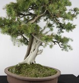 Bonsai Genévier rigida, Juniperus rigida, no. 5142