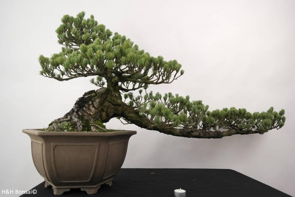 Bonsai Pin blanc du Japon, Pinus penthaphylla, no. 5163