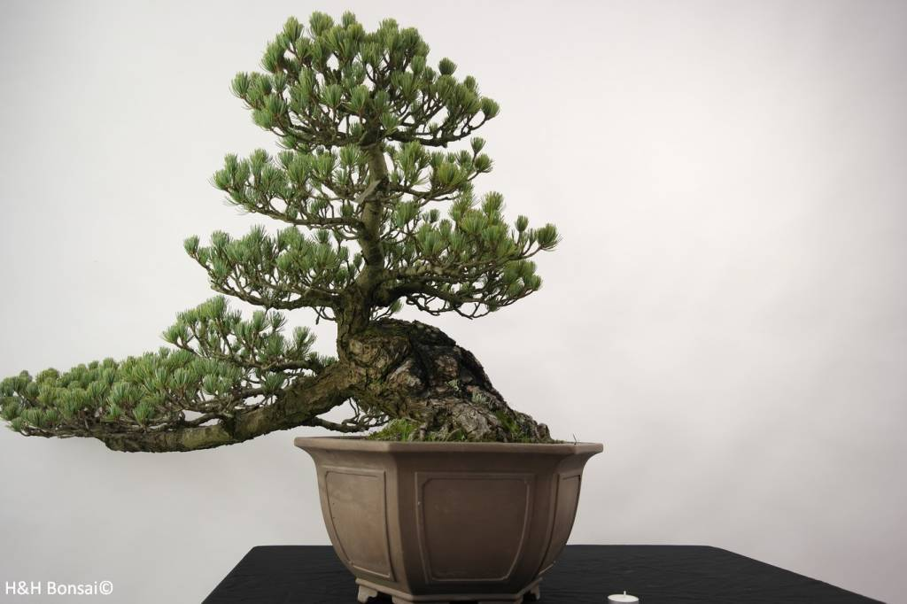Bonsai Pin blanc du Japon, Pinus penthaphylla, no. 5163