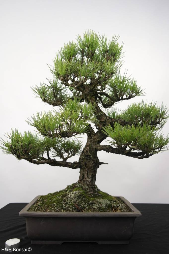 bonsai pin noir du japon pinus thunbergii no 5168 www