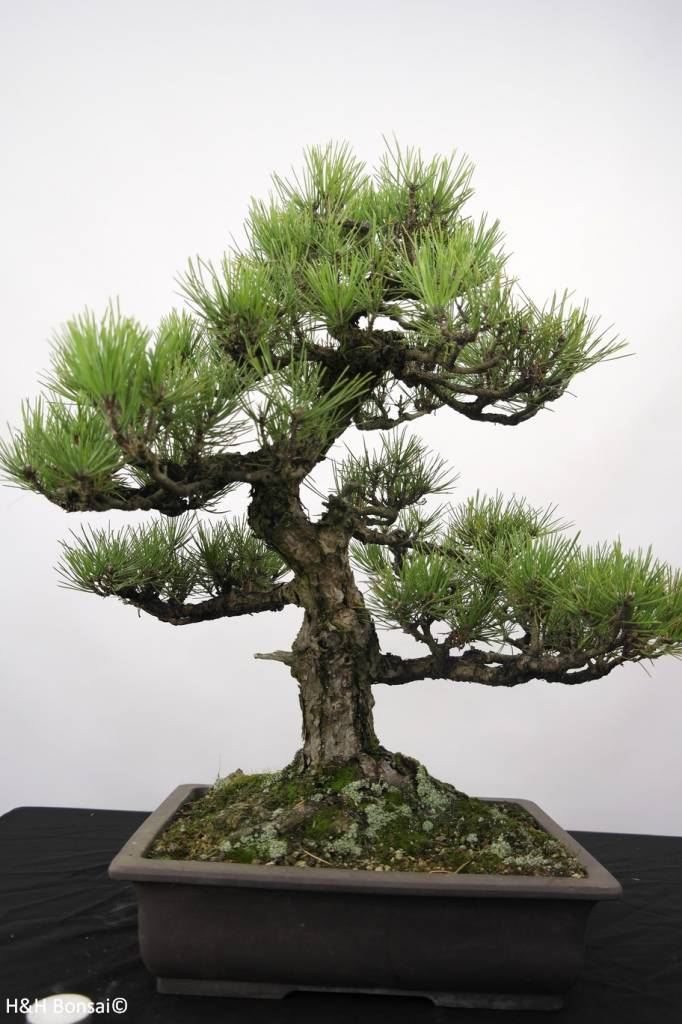 Bonsai Japanese Black Pine, Pinus thunbergii, no. 5168