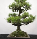 Bonsai Pin noir du Japon, Pinus thunbergii, no. 5168