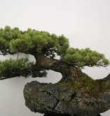 Bonsai Pin blanc du Japon, Pinus penthaphylla, no. 5177