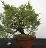 Bonsai Chinese Juniper, Juniperus chinensis itoigawa, no. 5277