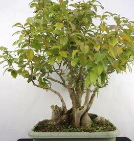 Bonsai Camélia du Japon, Camellia japonica, no. 5278