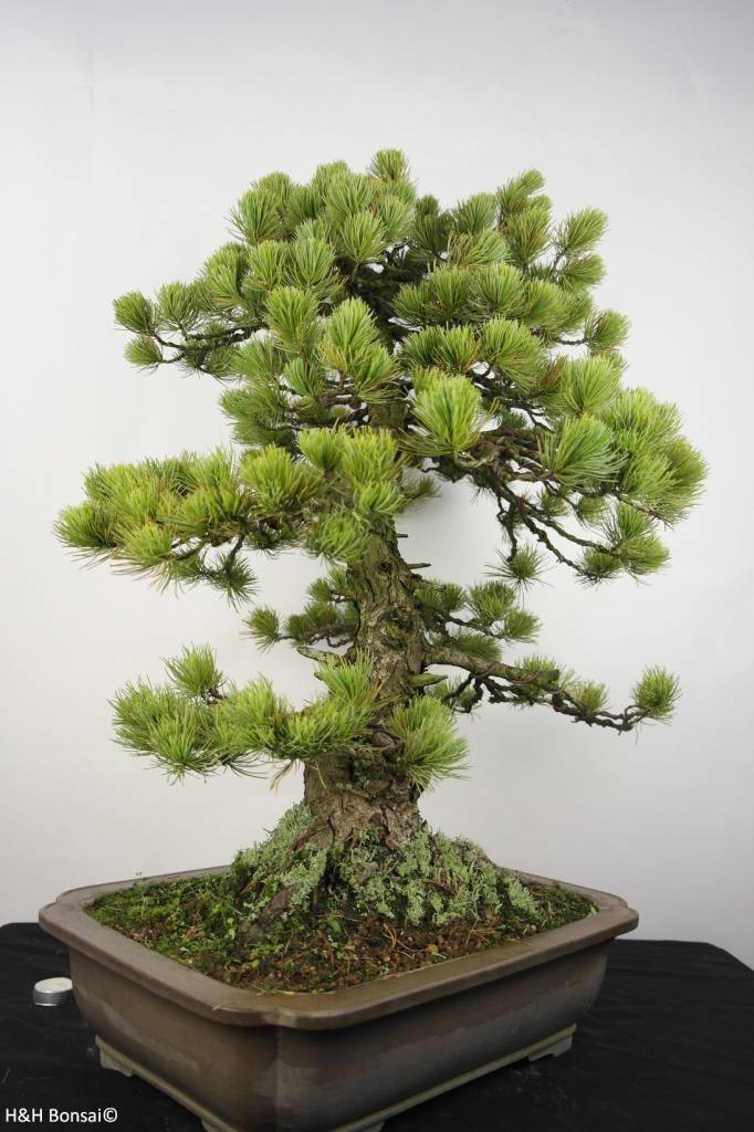 Bonsai Pin blanc du Japon, Pinus penthaphylla, no. 5299