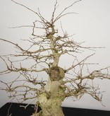 Bonsai Charme de corée, Carpinus coreana, no. 5227