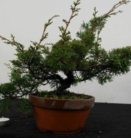 Bonsai Genévier de Chine itoigawa, Juniperus chinensis itoigawa, no. 5374