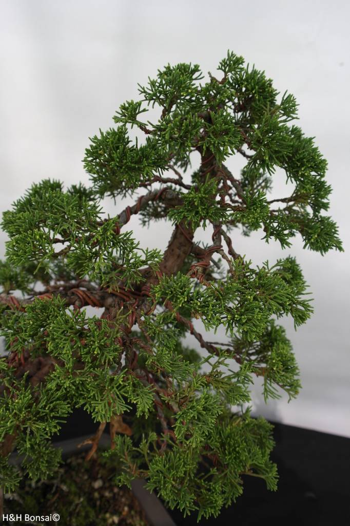 Bonsai Genévier de Chine, Juniperus chinensis, no. 5495