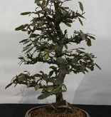 Bonsai Elaeagnus, no. 5525