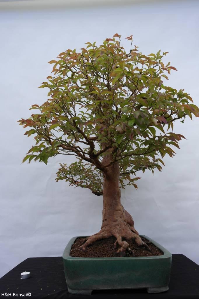 Bonsai Stewartia, no. 5118