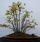 Bonsai Beech sp., group, no. 5574