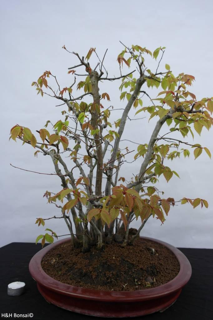 Bonsai Fagus sp., groupe, no. 5574