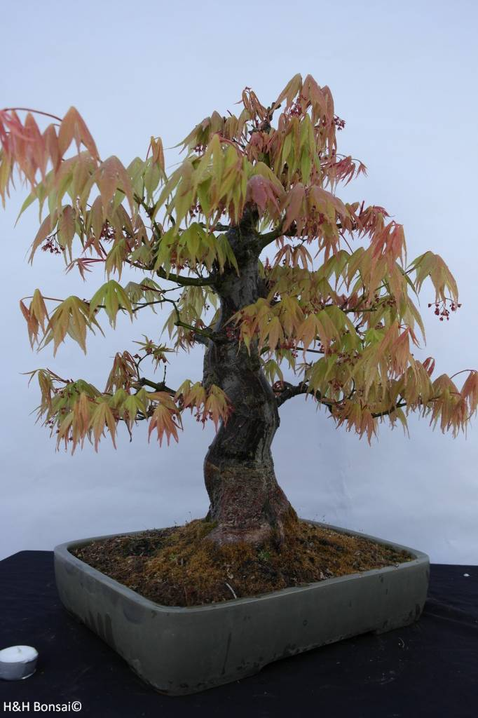 Bonsai l 39 erable du japon acer palmatum no 5288 - L erable du japon ...