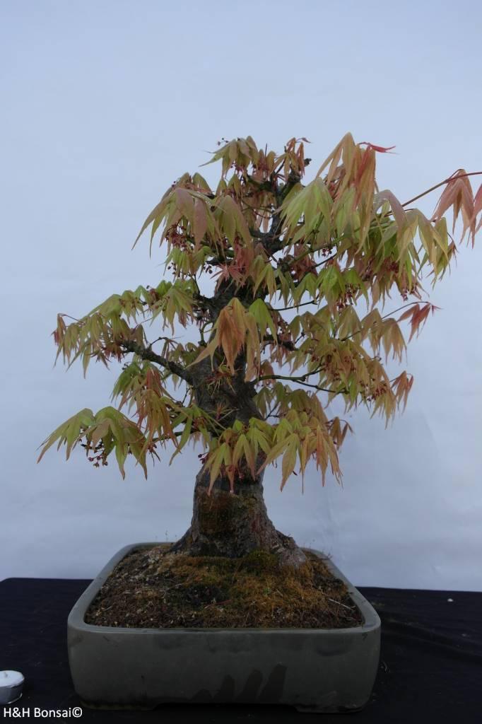 Bonsai Japanese Maple, Acer palmatum, no. 5288