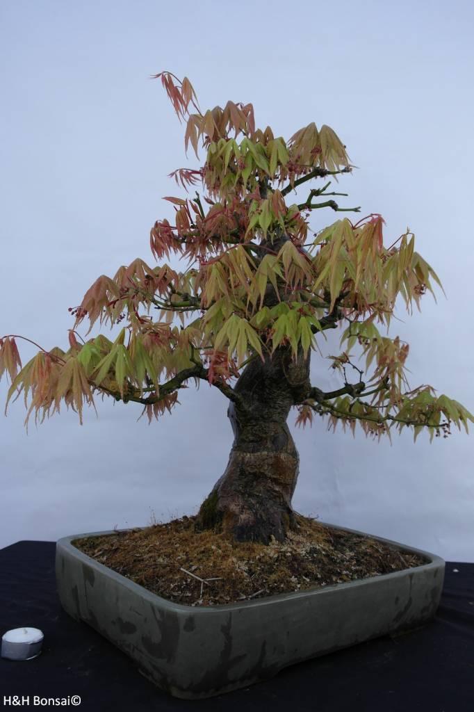 bonsai l 39 erable du japon acer palmatum no 5288. Black Bedroom Furniture Sets. Home Design Ideas