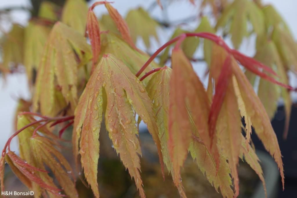 Bonsai L'Erable du Japon, Acer palmatum, no. 5288
