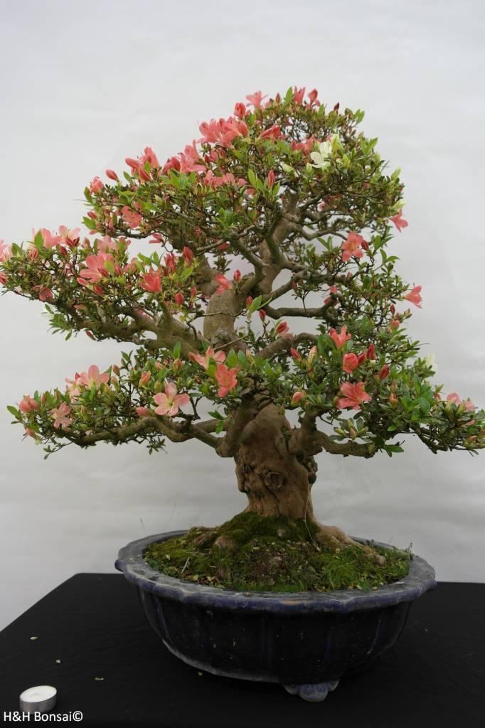 Bonsai Azalea Satsuki Shinkyo, no. 5684
