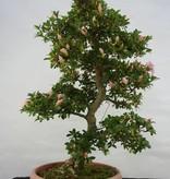 Bonsai Azalea Satsuki Akatsuki no Hana, no. 5348