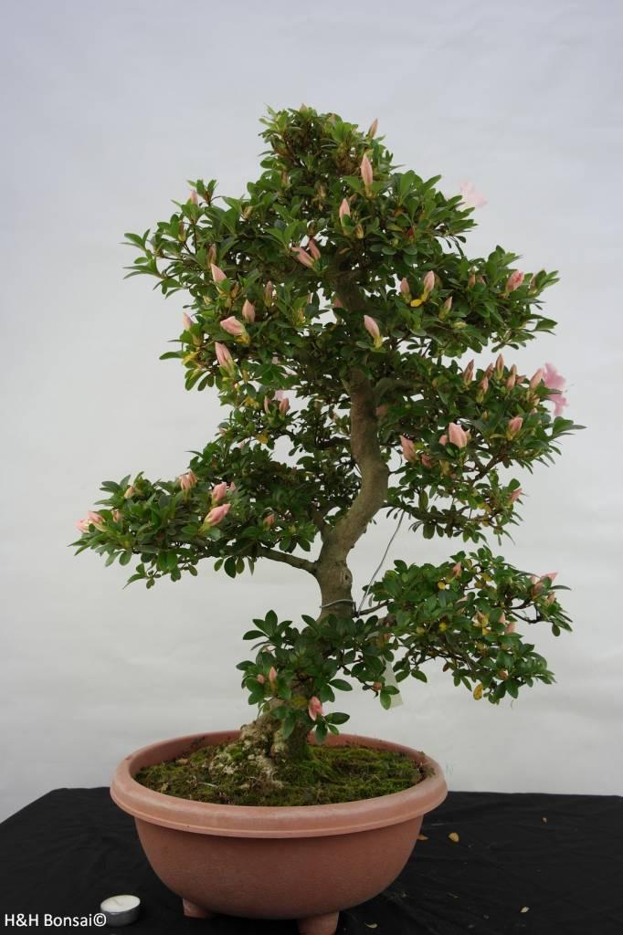 Bonsai Azalée du Japon, Azalea Satsuki Akatsuki no Hana, no. 5348