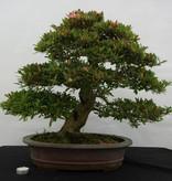 Bonsai Azalea SatsukiAkane, no. 5400