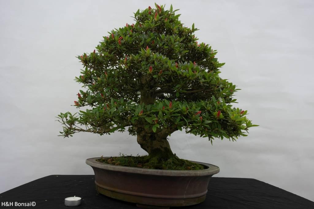 Bonsai Azalée du Japon, Azalea SatsukiAkane, no. 5400