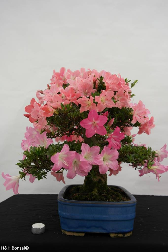 Bonsai Azalée du Japon, Azalea SatsukiJuko no Homare, no. 5689