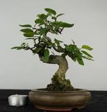 Bonsai Shohin Charme de Corée, Carpinus, no. 5433