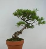 Bonsai Pin blanc du Japon, Pinus penthaphylla, no. 5716